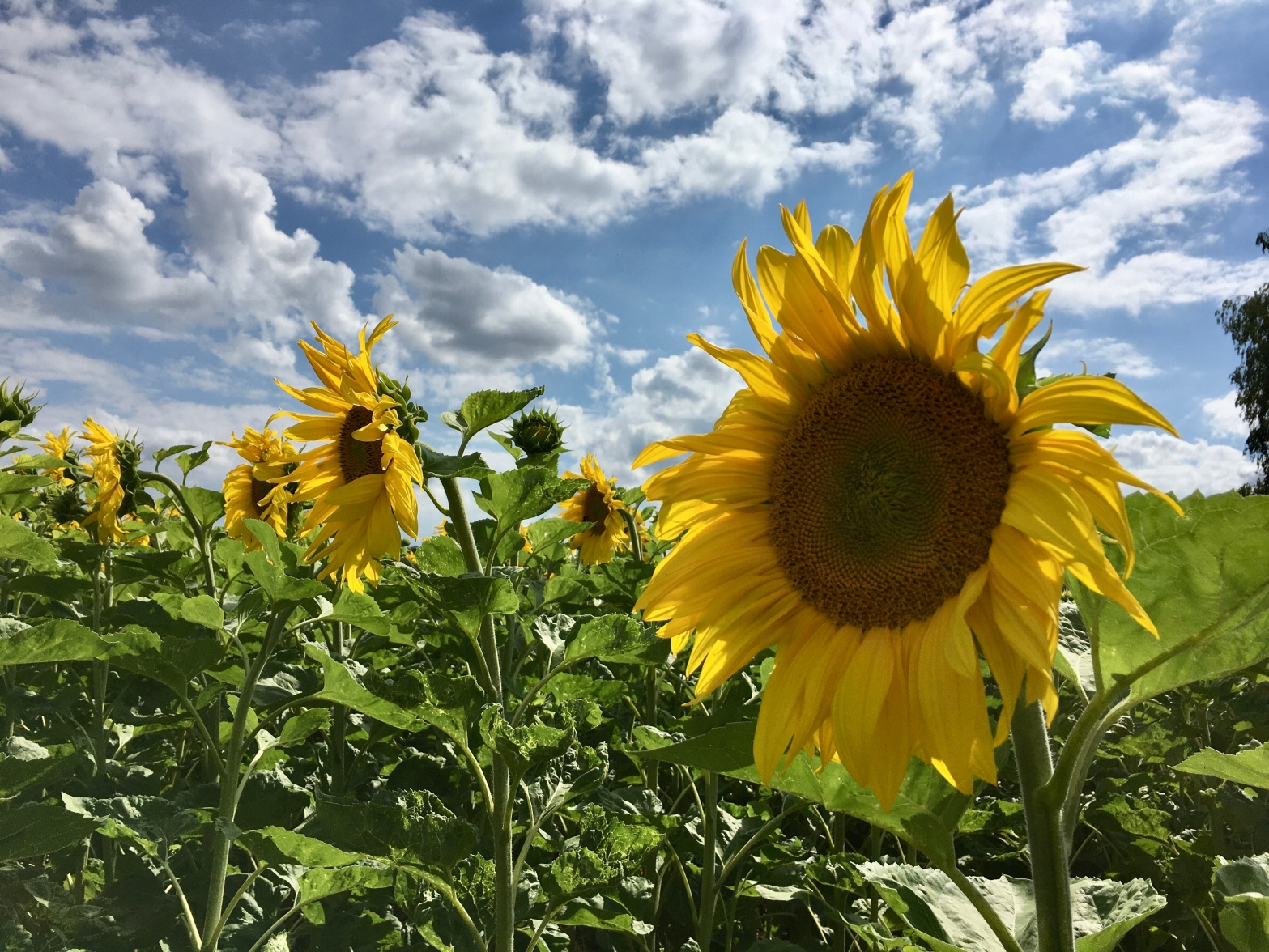 A picture of a large sunflower.
